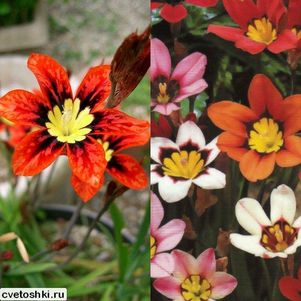 cvety-sparaksis (5)