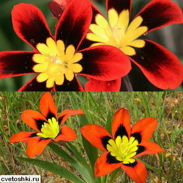 cvety-sparaksis (7)