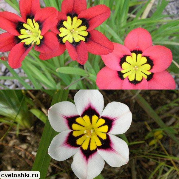 cvety-sparaksis (9)