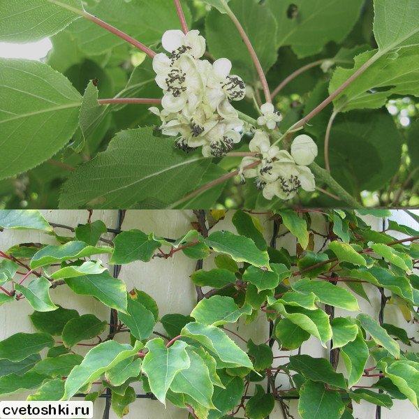 aktinidiya-arguta (5)