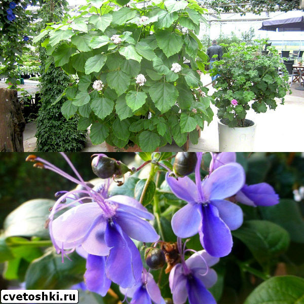 clerodendrum-1