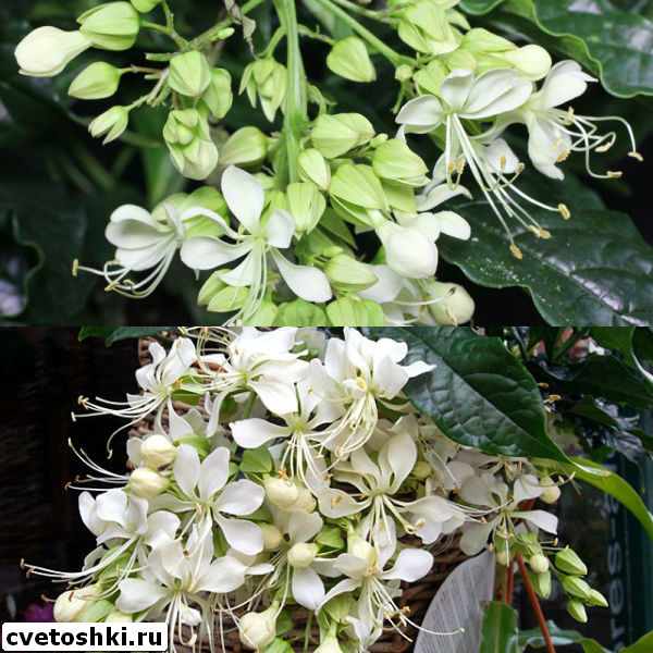clerodendrum-wallichii-4
