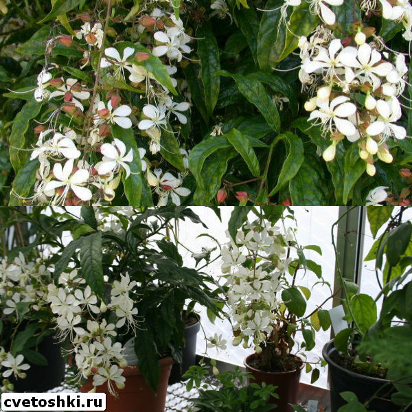 clerodendrum-wallichii-6