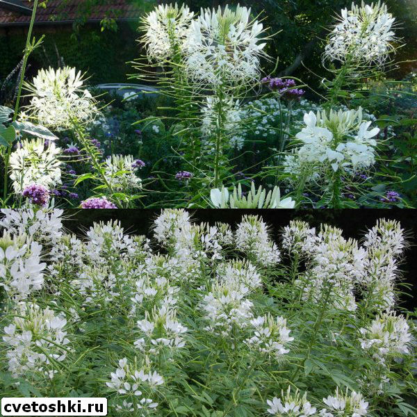 cleome-helen-campbell-1