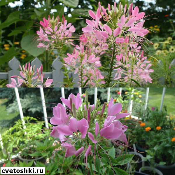 cleome-helen-campbell-2