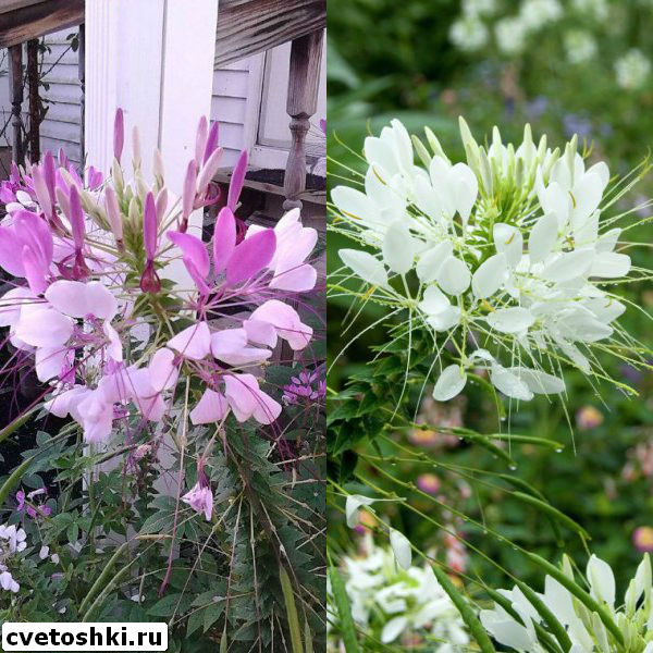 cleome-helen-campbell-5