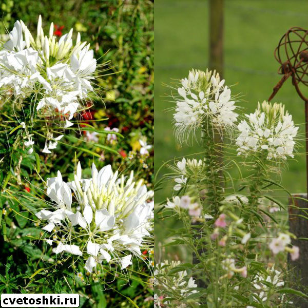 cleome-helen-campbell-6