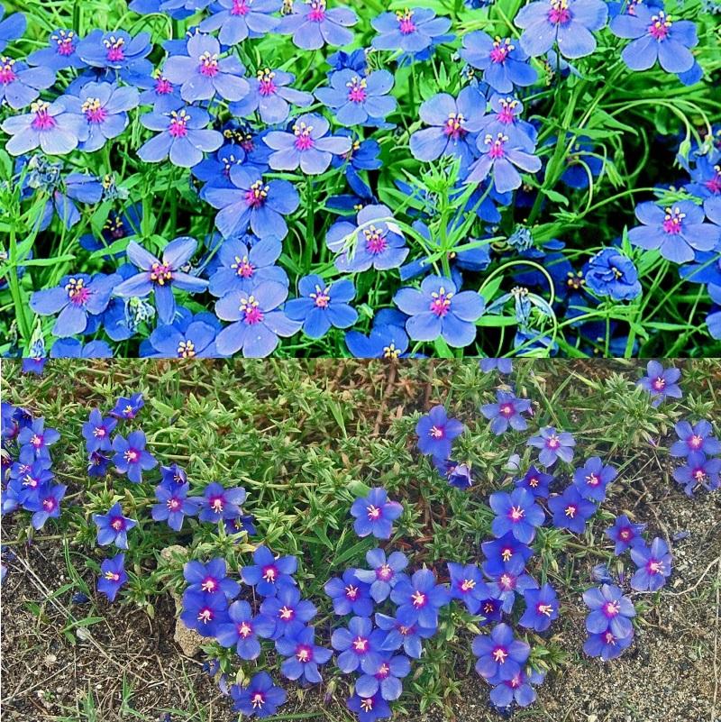 цветы очий свет синие