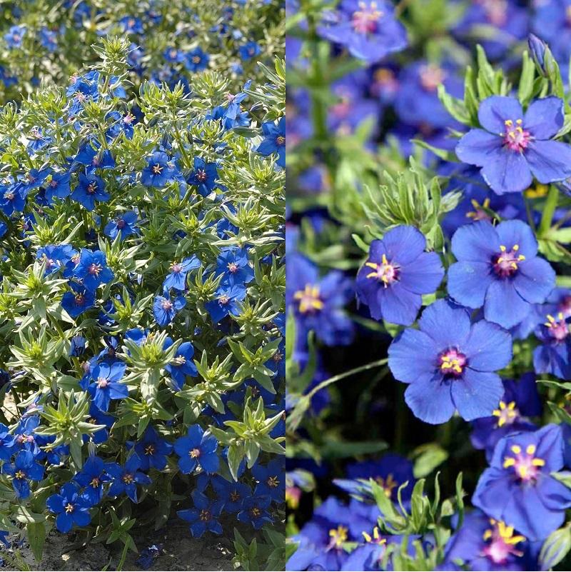Анагаллис — живописный очный свет для сада (c фото)