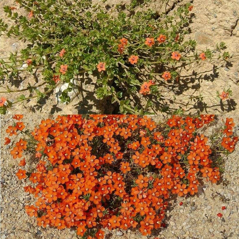 оранжевый анагаллис