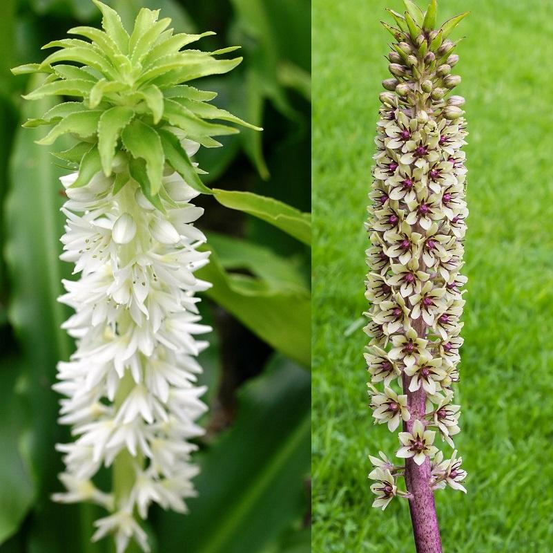 Ананасная лилия эукомис — уникальное растение в саду (с фото)