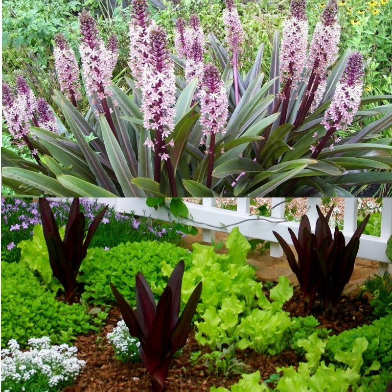 цветы эвкомис с разной окраской лепестков