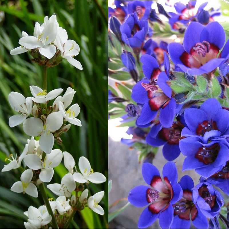 Цветок бабиана: фото, посадка и уход в открытом грунте