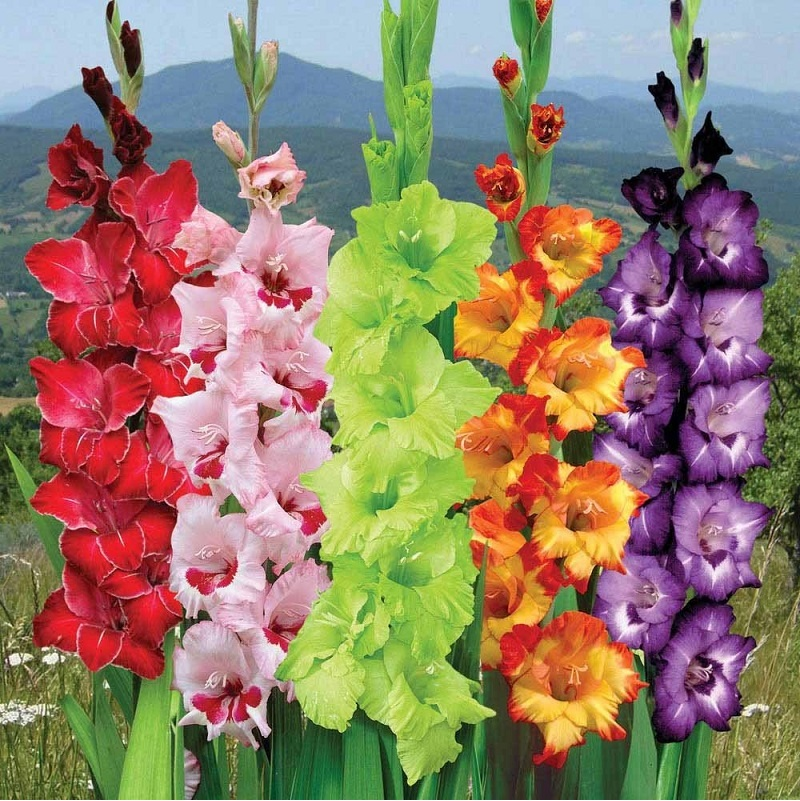Preparation of gladioli for planting: seedlings and germination (dates in 2018)
