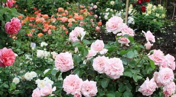 0406w-1 Ароматные розы – лучшие сорта для вашего сада