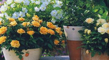 Миниатюрные розы дома в горшке и саду: фото, выращивание, уход
