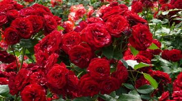 Сорта чайно-гибридных роз с фото и описанием, правильная обрезка розовых кустов