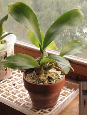 Выращивать орхидеи в домашних условиях