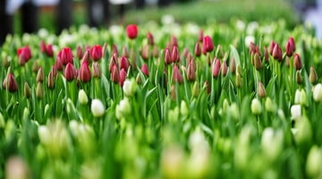 Выращиваем тюльпаны на даче
