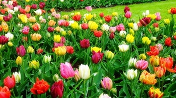 Сорта тюльпанов розового цвета