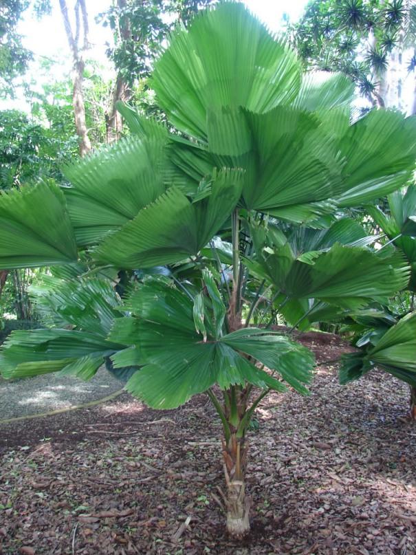 пальма ликуала на фото