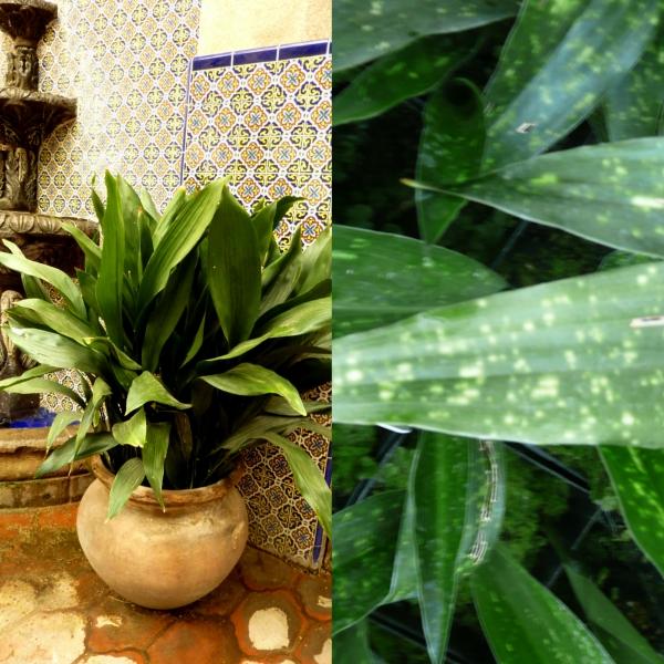 Камелия выращивание в домашних условиях фото