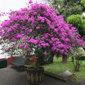 Бугенвиллия цветы фото