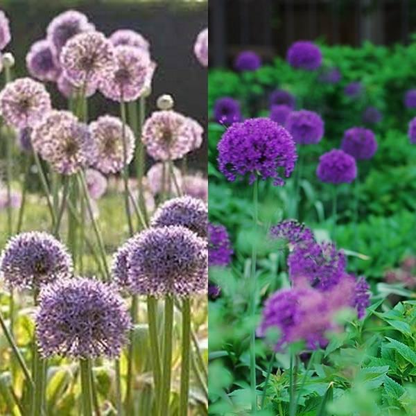 Allium (10)