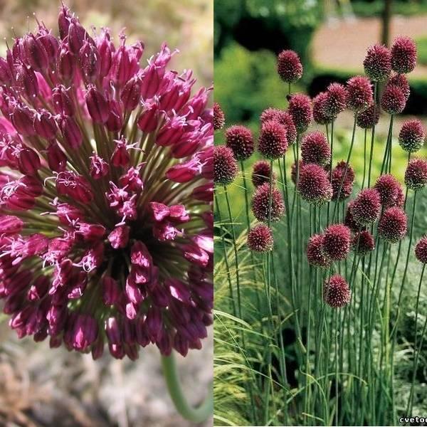 Allium (12)