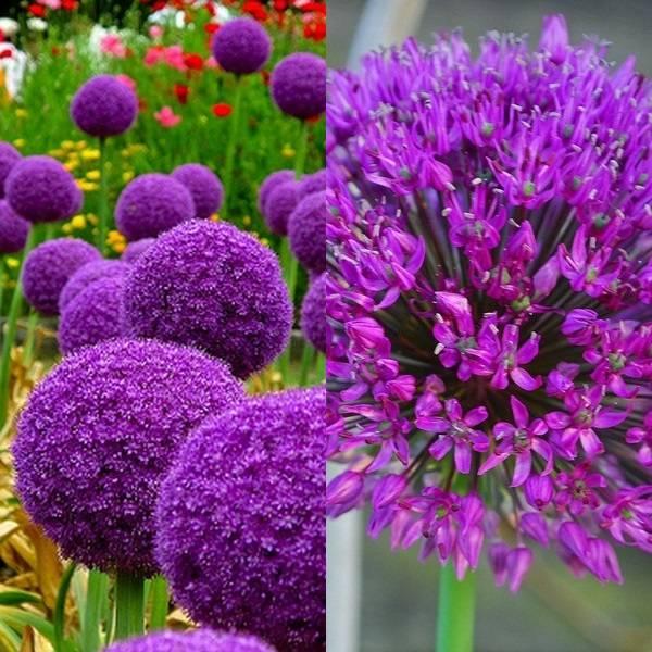 Allium (13)