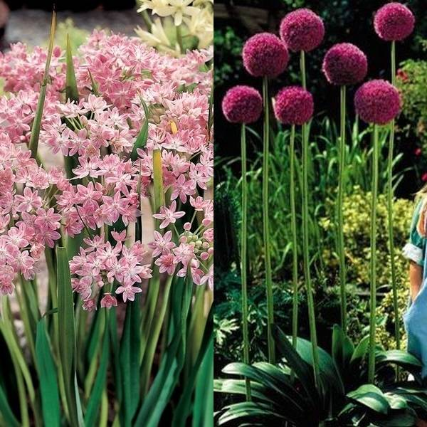 Allium (14)