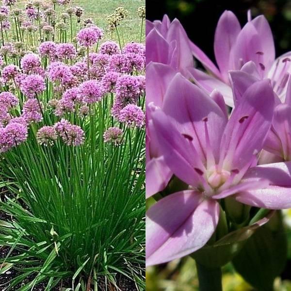 Allium (18)