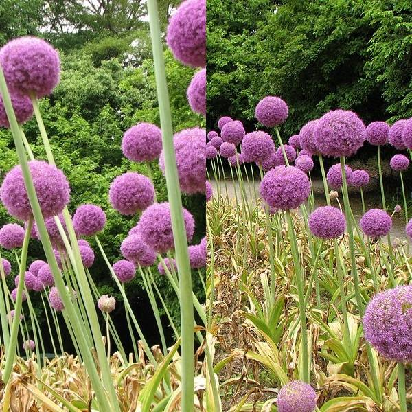 Allium (2)
