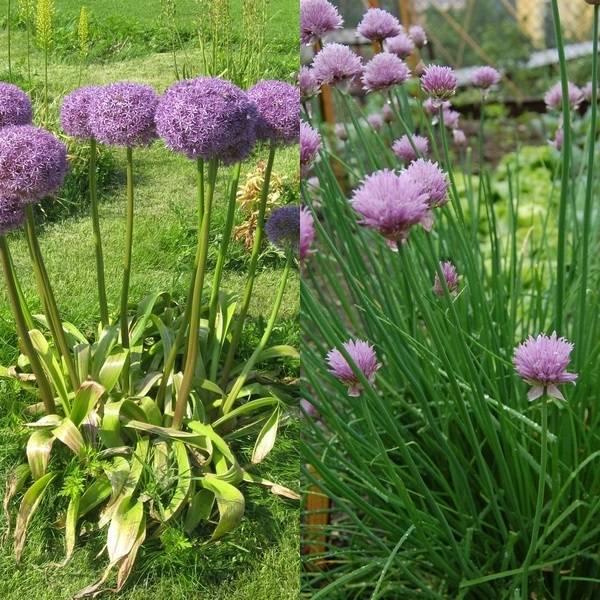 Allium (3)