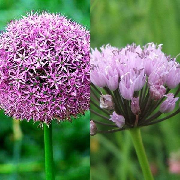 Allium (5)