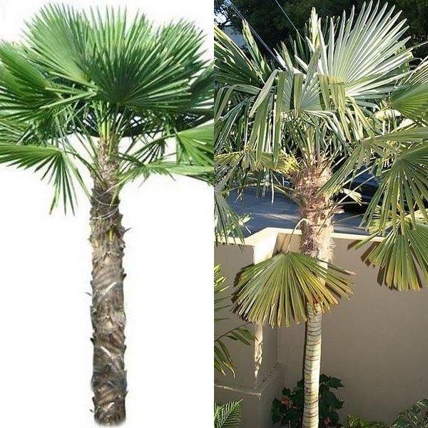 Уход за пальмой в домашних условиях пересадка 159