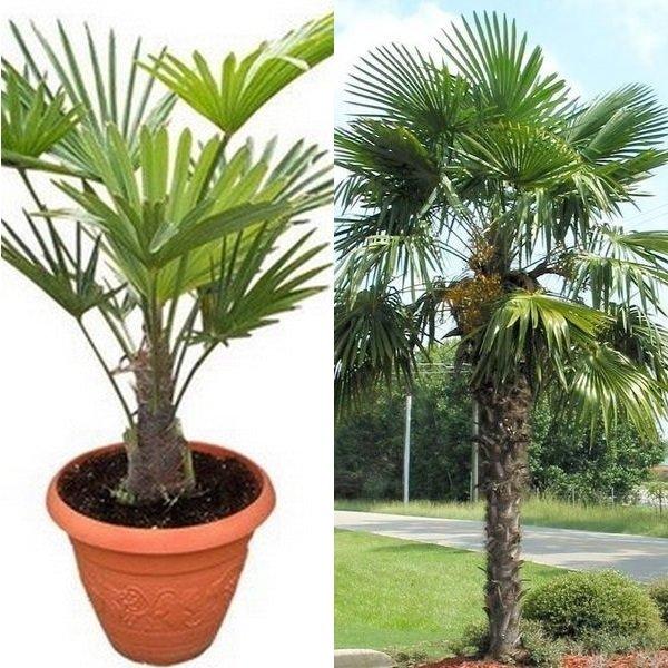 Разновидности пальм в домашних условиях фото 564