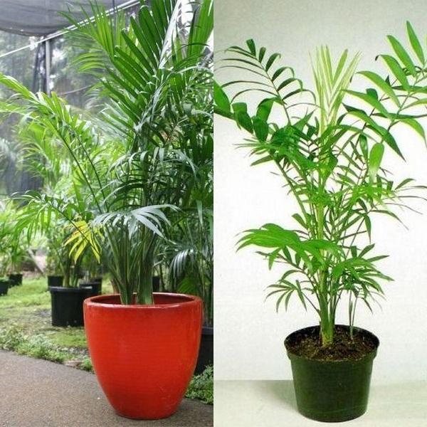 Уход за пальмой в домашних условиях пересадка 763