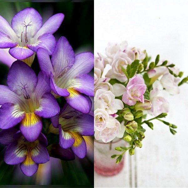 Фрезия цветок фото