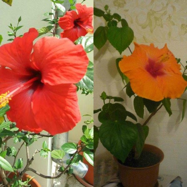 Китайская роза выращивание и уход в домашних условиях 64