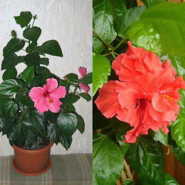 Китайская роза выращивание и уход в домашних условиях 81