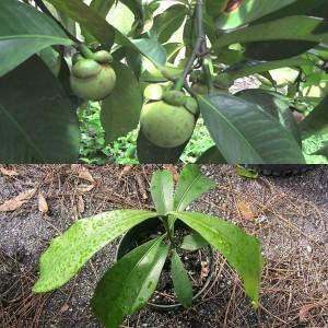 Вырастить мангостин в домашних условиях 974