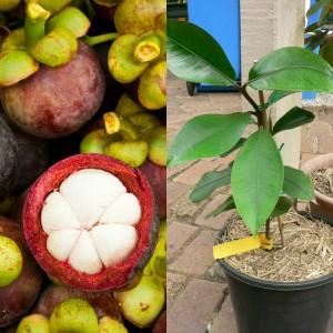 Как растет мангустин в домашних условиях