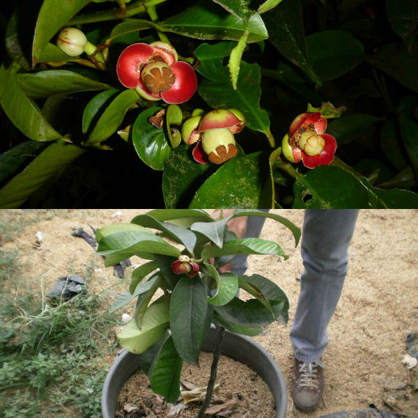 Мангостин фрукт выращивание в домашних условиях