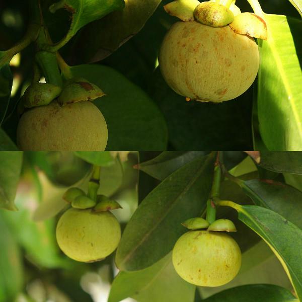 Вырастить мангостин в домашних условиях 38