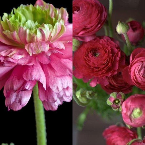Ранункулюс розовый