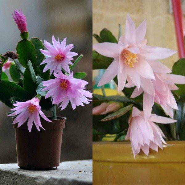 ripsalidopsis (14)