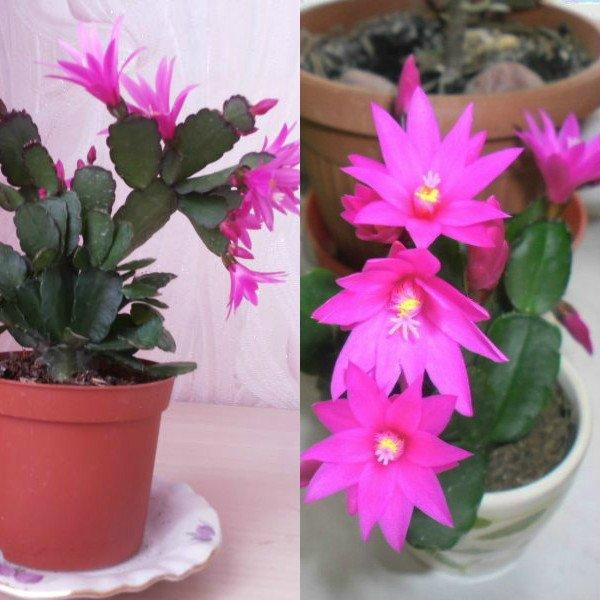 ripsalidopsis (2)