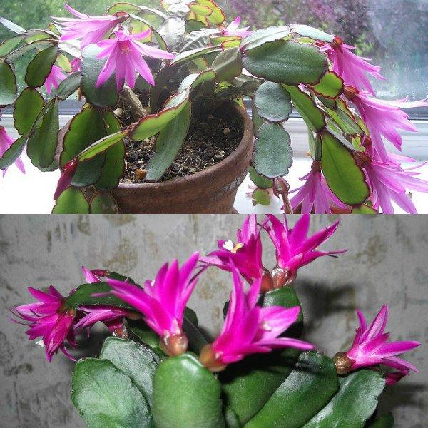 ripsalidopsis (21)