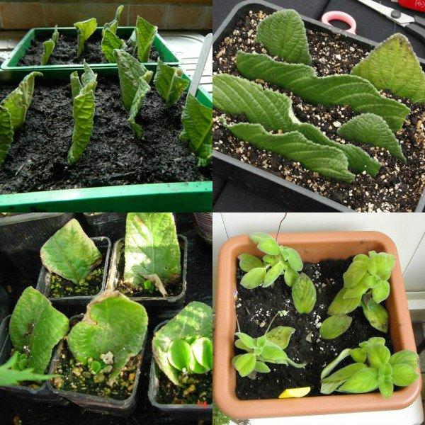 Особенности выращивания стрептокарпусов 60